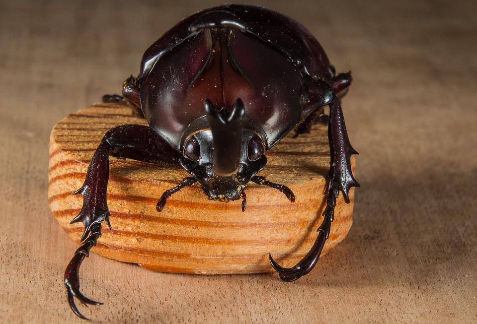 キャンプ場で昆虫採取 巨大カブトムシ